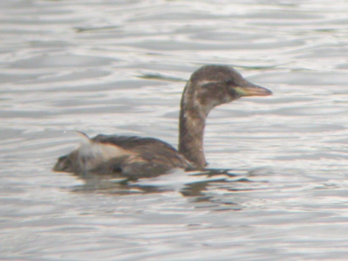 Little Grebe, Flixton GP, 27-Aug-05 (B1) L